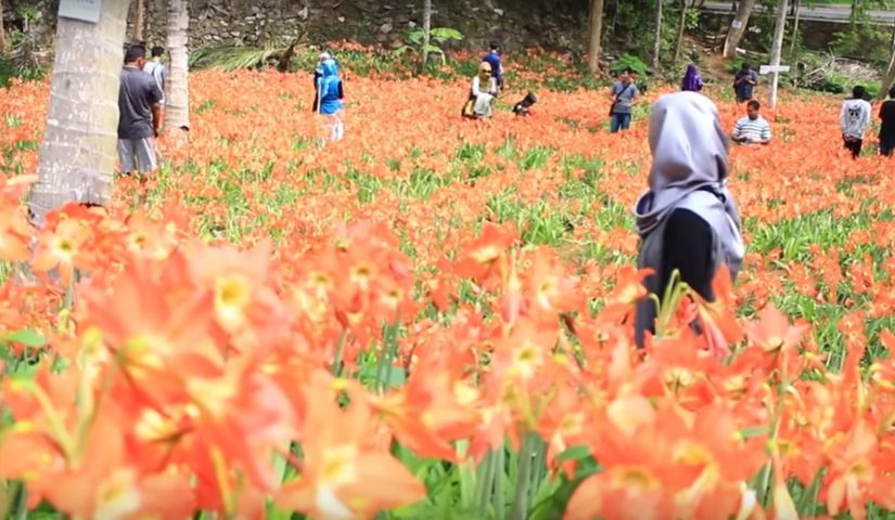 Obyek Wisata Jogja Taman Bunga Amaryllis Puspa Patuk